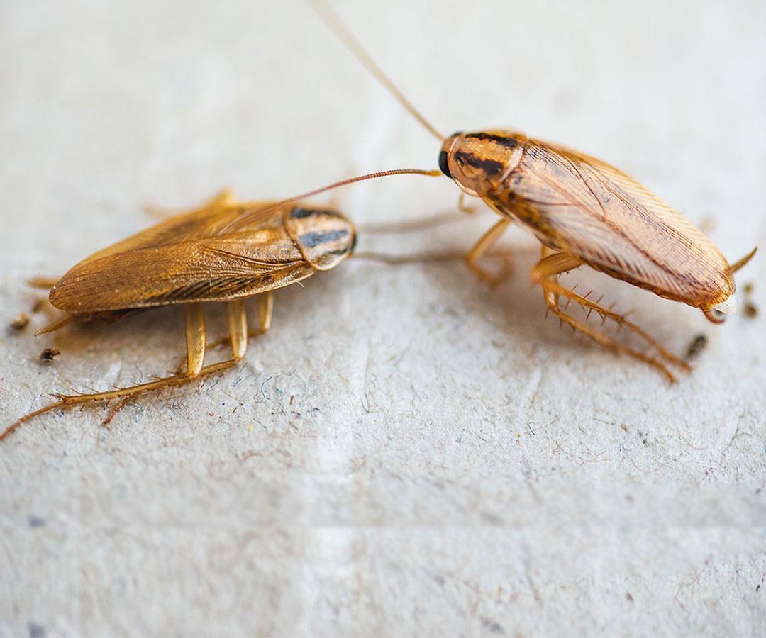 local cockroach pest control