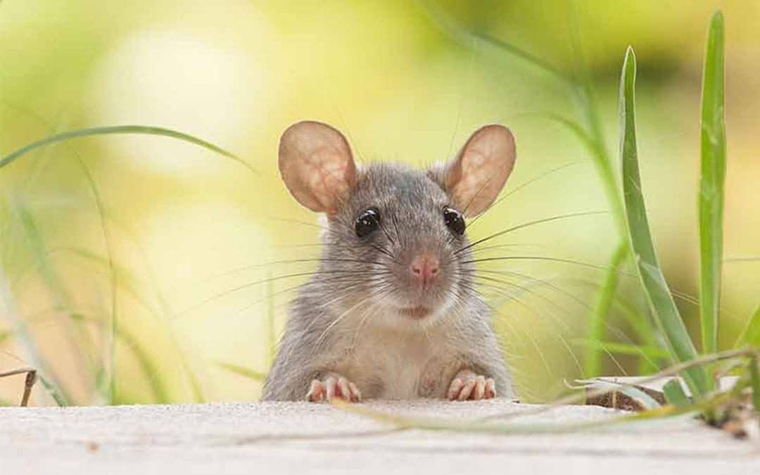 The 8 House Mouse Facts That You Will Want To Know