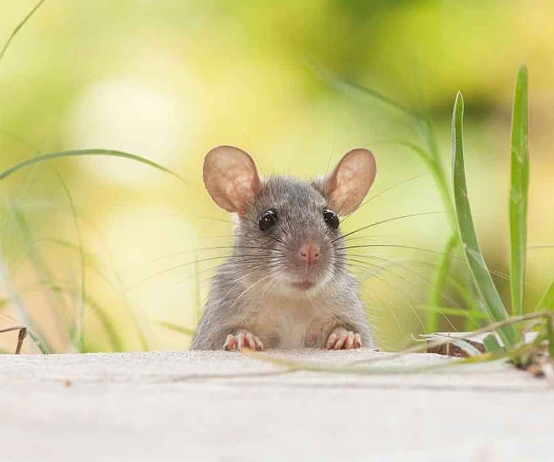 Mice control London AccuRat