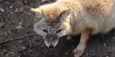 humane fox control serivce