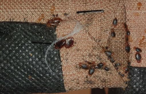 local emergency bed bug control
