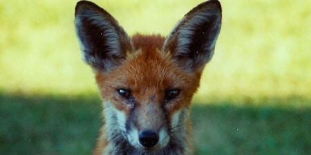 local fox control