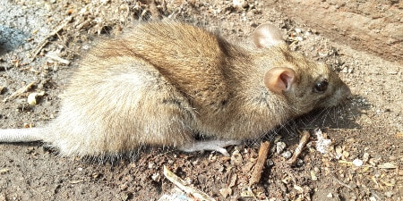 local mice control service