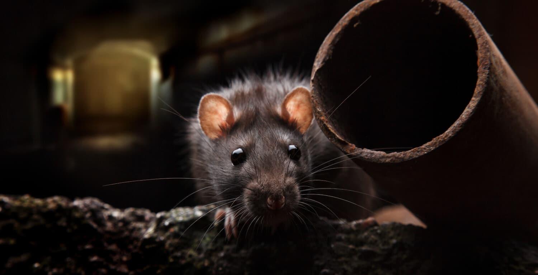 Brown Rat (Rattus Norvegicus) AccuRat