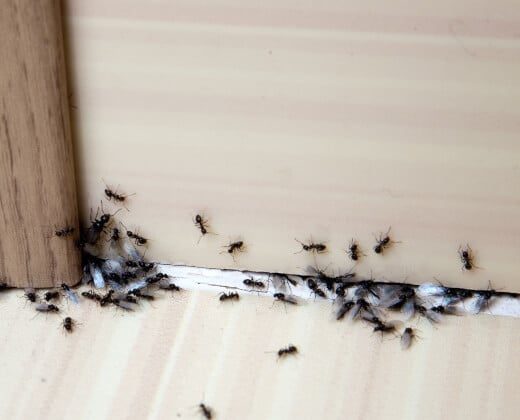 ant pest control near you