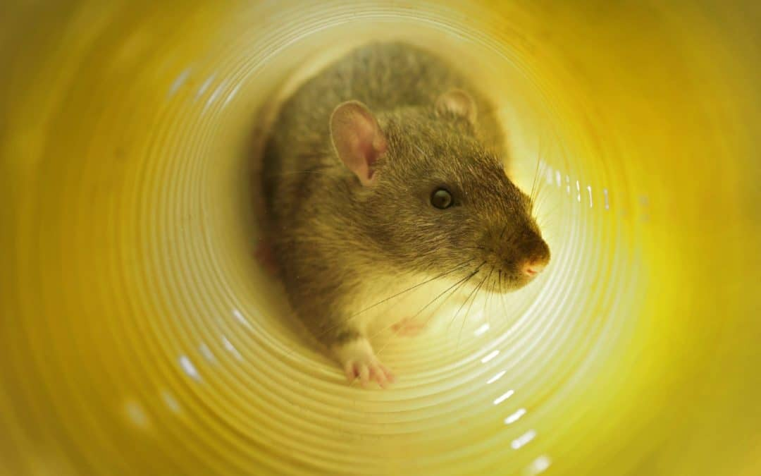 7 Tips to help you prevent rat infestation in your home