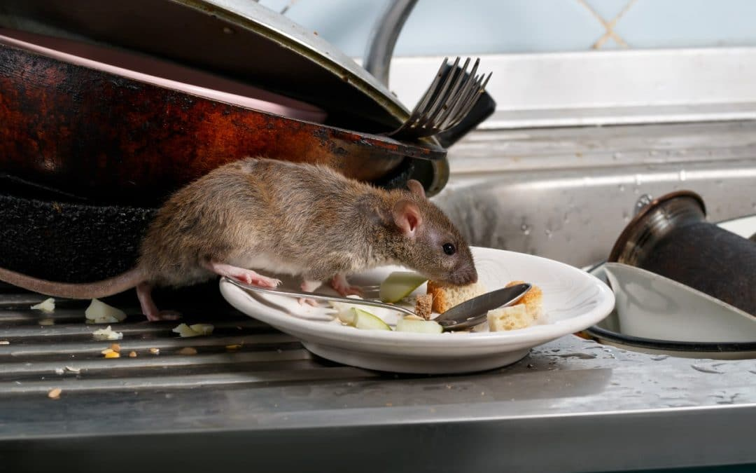How rats are related to drains in UK?