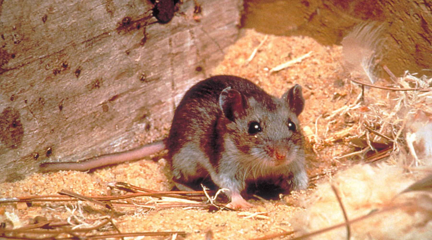The 8 House Mouse Facts That You Will Want To Know AccuRat