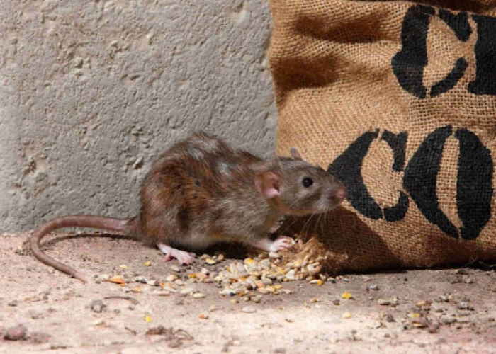 What Diseases Do Mice & Rodents Carry? AccuRat