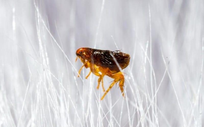 Does Heat Kill Fleas? The 4 Best Ways to Kill Fleas with Heat AccuRat