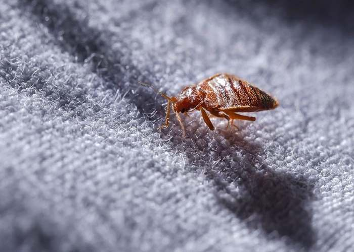 How Do I Know if I Have Bed Bugs? 7 Signs to Look Out For AccuRat