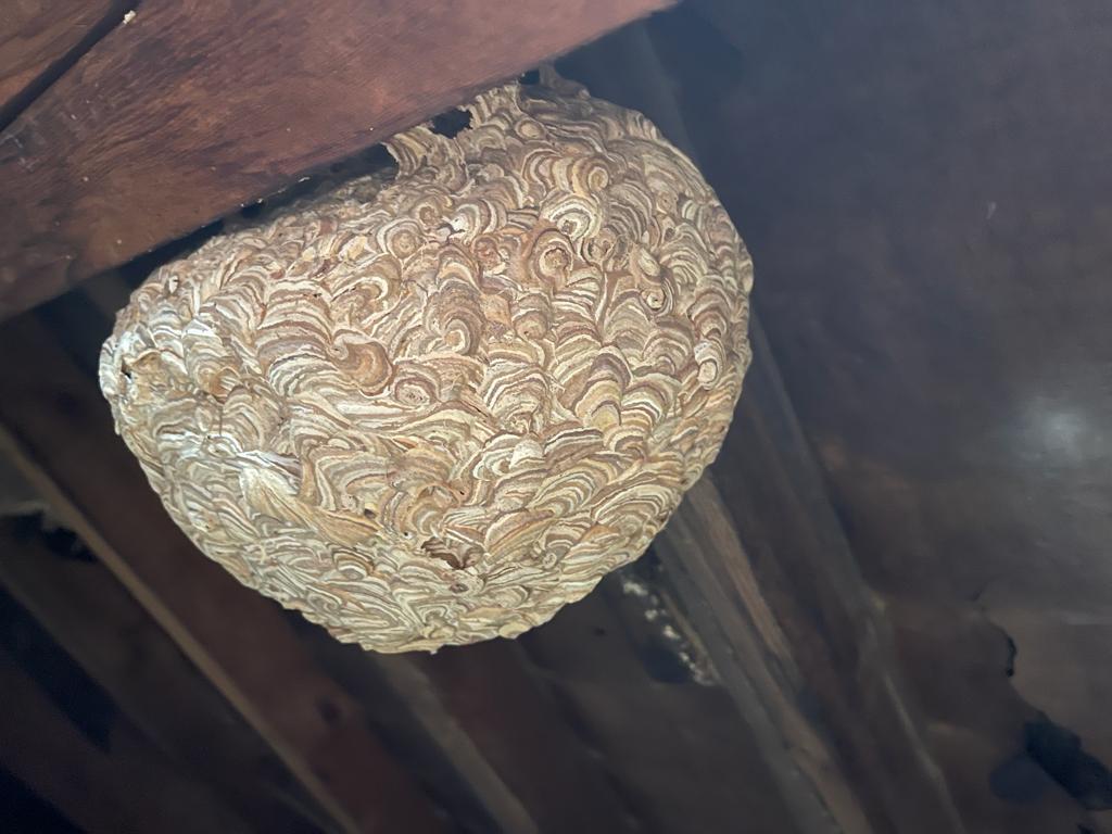 Common Wasp (Vespula Vulgaris) AccuRat