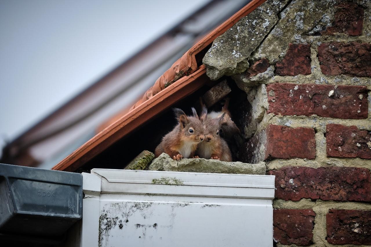 Squirrels Control AccuRat
