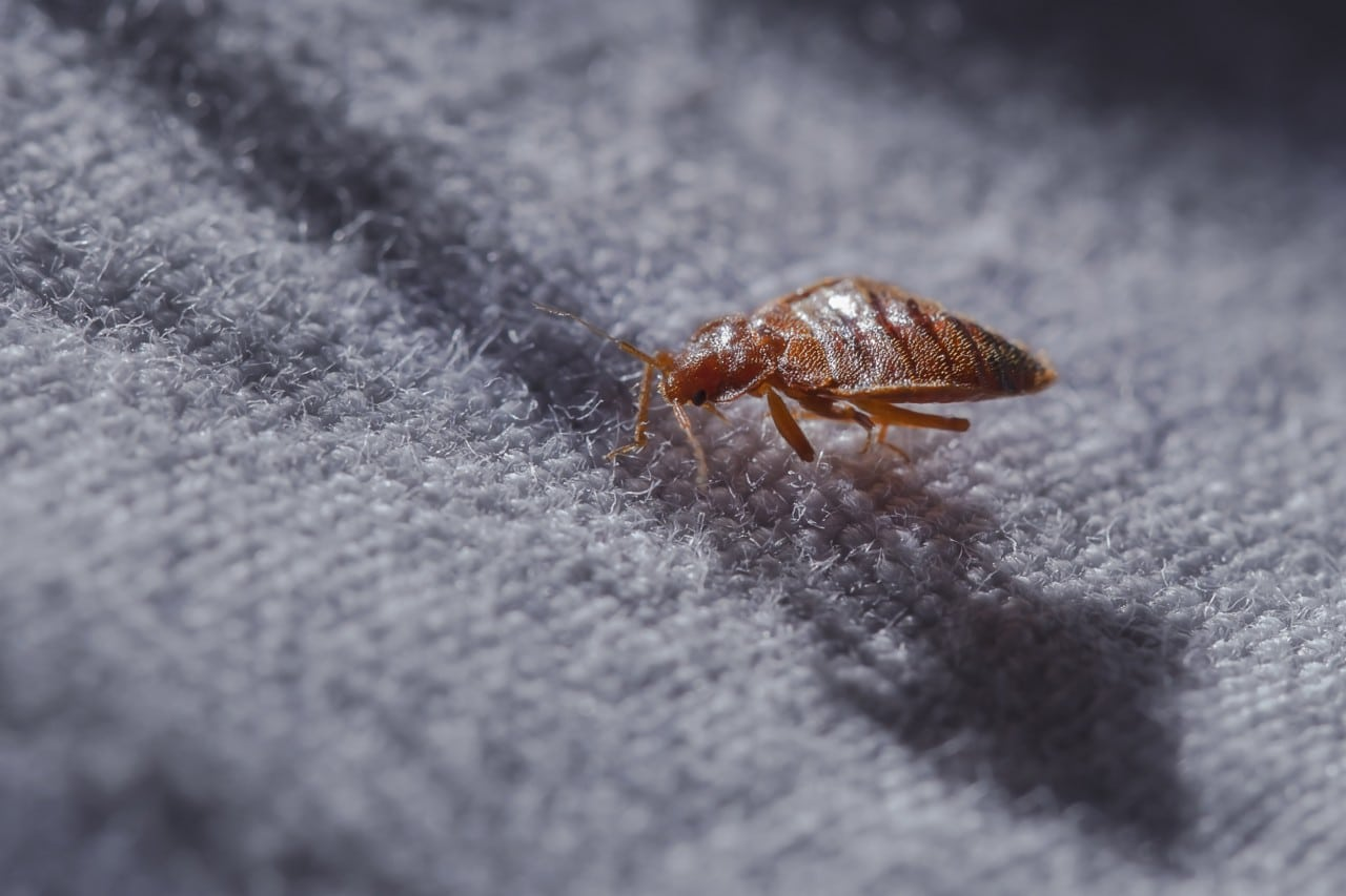 Bed Bugs (Cimex Lectularius) AccuRat