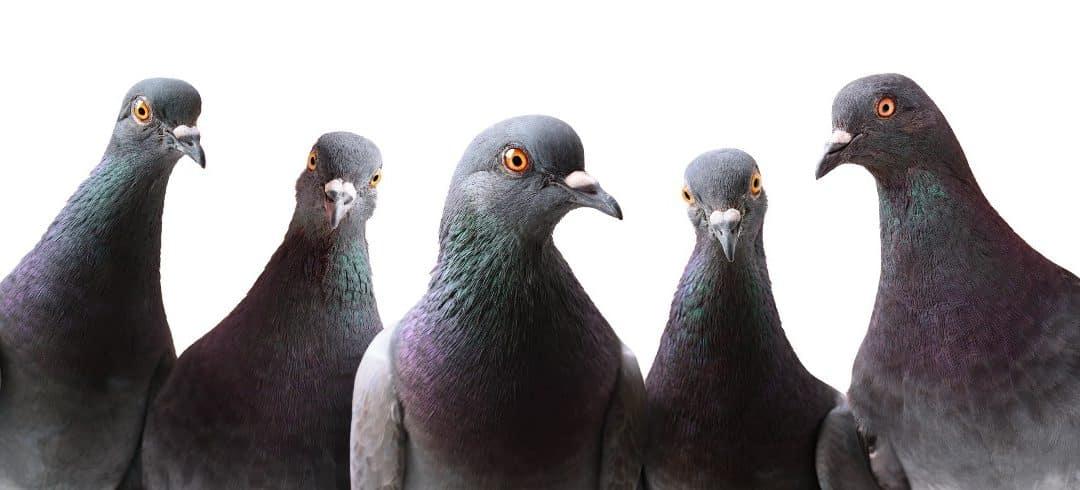 Feral Pigeons (Columbia Livia Domestica)