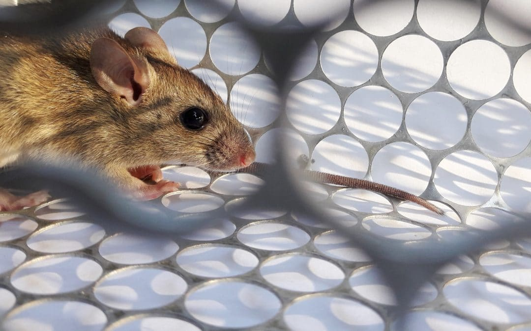 Choosing a rat or mouse trap, plus 6 tips for success