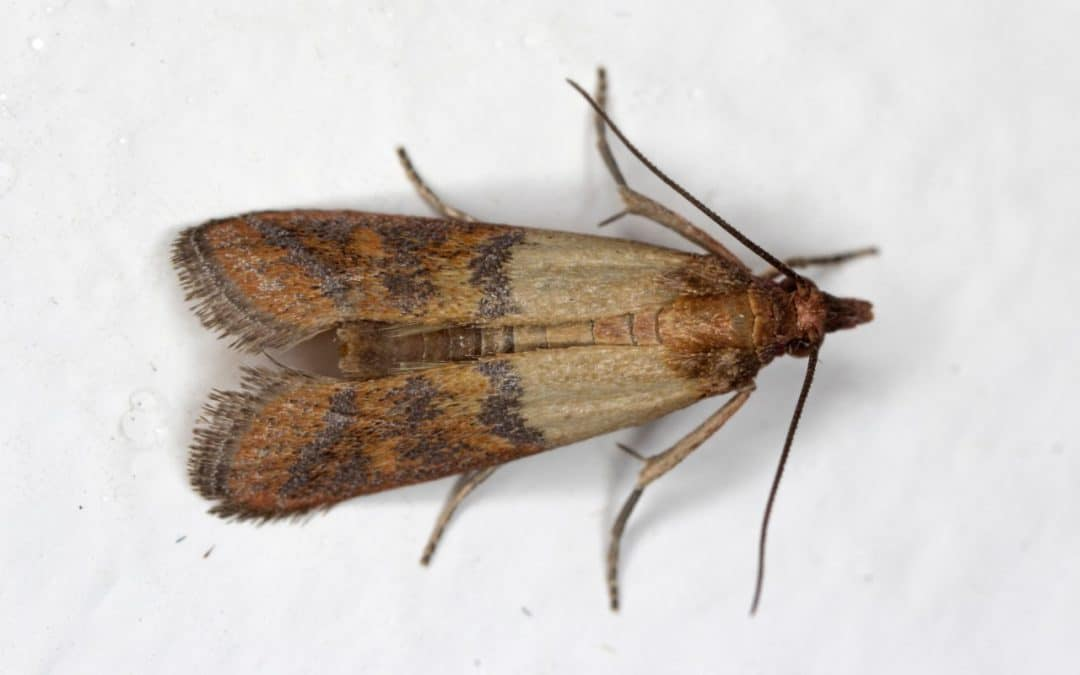 Indian Meal Moth (Plodia interpunctella)